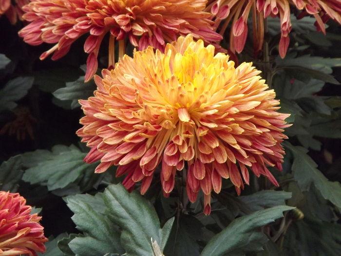 微距特写菊花图片