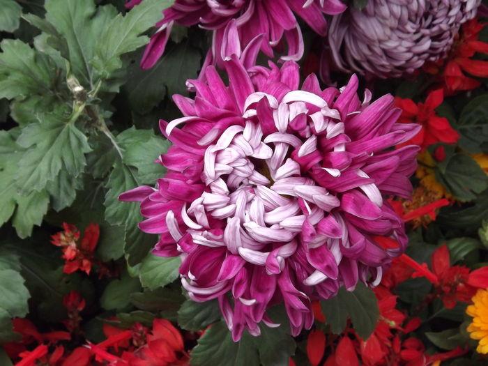 紫菊花特写图片