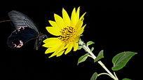 蝴蝶标本向日葵