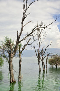 湖边水中生长的老树
