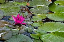 安静的紫睡莲