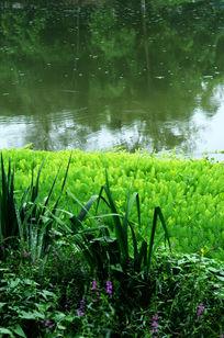 河边绿油油的水草