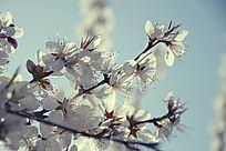 洁白梅花朵朵开
