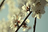 清新淡雅的白梅花