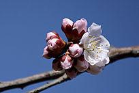 一团梅花的花蕾