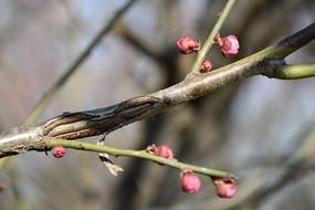 初春梅花树的新蕾