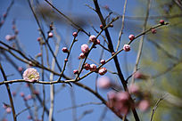 梅花迎春来