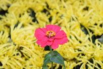 一枝独秀的红色菊花