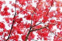 枫叶红似火
