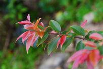 红绿叶子的植物