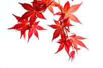 日本红枫叶