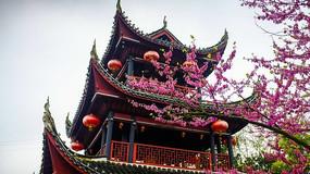 黔阳古城芙蓉楼的樱花