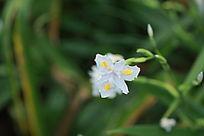 白色兰花草