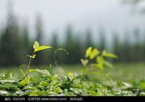 茶园叶子特写