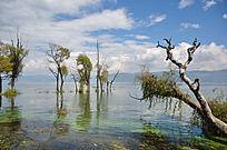 湖边生长的老树