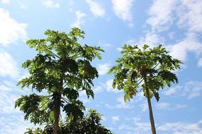 烈日下的番木瓜树