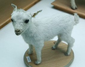 小羊羔标本