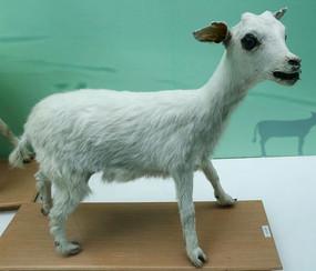 小羊羔的标本