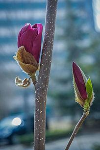 紫玉兰的花苞