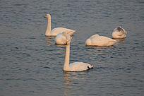 夕阳下湖面上安详的天鹅
