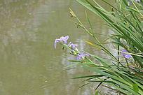 长在水边的草