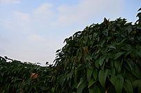 蓝天下缠绕的山药叶子