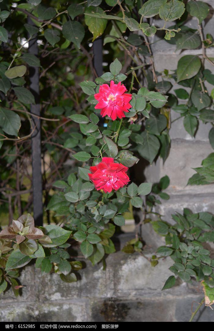 深红色蔷薇花漂亮图片图片