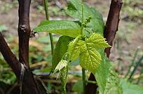 葡萄根上长出的嫩叶