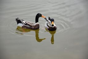 人工湖中的鸭子图片
