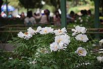 白色牡丹花丛香玉