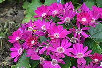 鲜艳的红菊花
