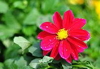 绽放的红色大丽菊