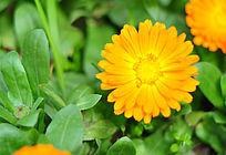 正面的黄色雏菊