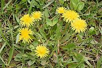 草地上的蒲公英花图片
