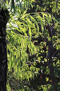 阳光下的杨柳树叶