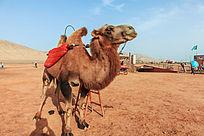 火焰山景区的骆驼