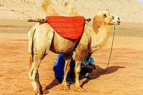 火焰山站立的骆驼