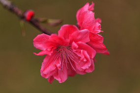 两朵红色的桃花盛开
