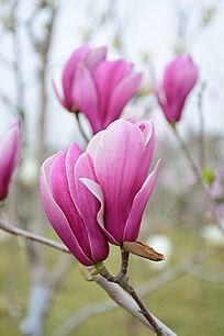 两朵紫玉兰