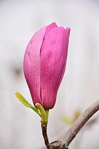 美丽紫玉兰