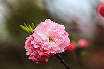 枝头盛开的粉红色桃花