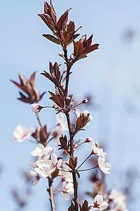 紫叶李子花