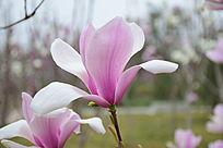 紫玉兰盛开