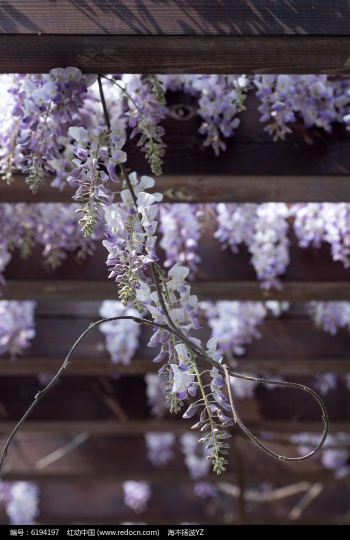 花架上垂挂的紫藤图片