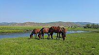 内蒙古马群吃草