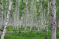 内蒙古树木