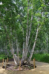 内蒙古树木风景