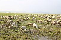 内蒙古羊群