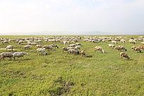 内蒙古羊群风景