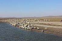 内蒙古羊群景观